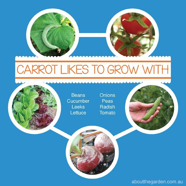 Companion Vegetable Garden Planting with Carrot Australia #aboutthegarden.com.au