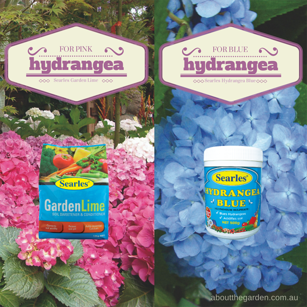 get your flowers blue or pink hydrangeas