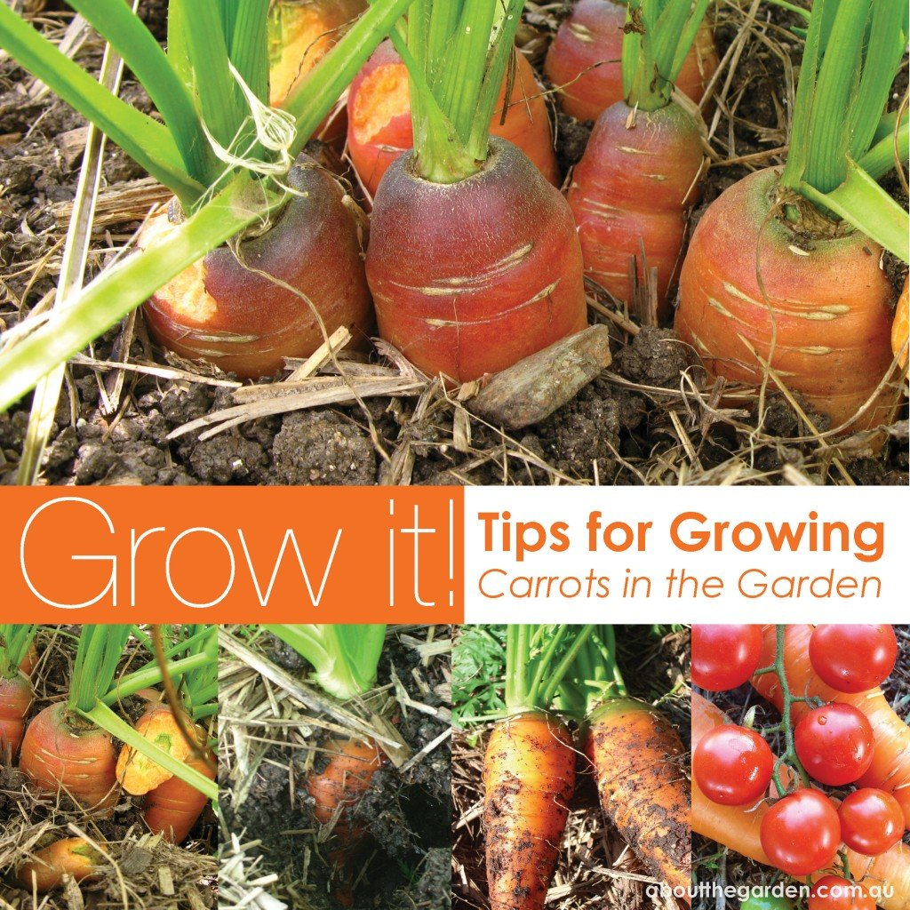 Best Vegetables To Grow In Raised Beds: Growing Carrots In Australia