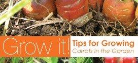 how to grow carrot in your garden