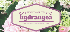 how to grow hydrangea in the garden or in a pot