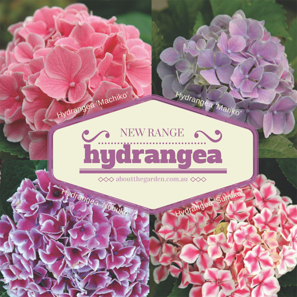 Modern Hydrangea for the garden