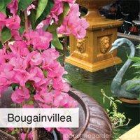 rose iceberg best climbing spring flowers in pots  #gardeningaus