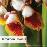 Cardamon flowers growing spices a home this spring by Noel Burdette aboutthegarden.com.jpg