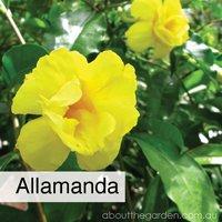allamanda best climbing spring flowers in pots #gardeningaustralia www.jpg