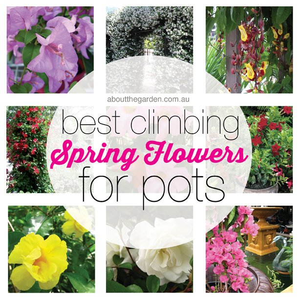 best climbing spring flowers for pots in the australian garden