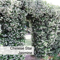 chinese star Jasmine best climbing spring flowers in pots #gardeningaustralia www.jpg