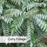 curry foliage growing spices a home this spring by Noel Burdette aboutthegarden.com.jpg