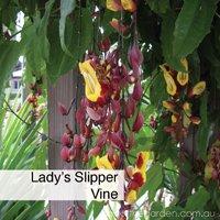 lady's slipper vine best climbing spring flowers in pots  #gardeningaustralia www