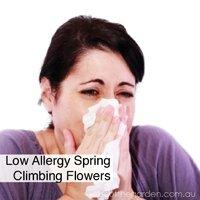 low-allergy-spring-climbing-flowers-best-climbing-spring-flowers-in-pots-gardeningaustralia-www.jpg
