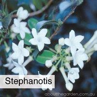 stephanotis best climbing spring flowers in pots  #gardeningaustralia www