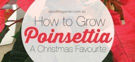 How-to-grow-poinsettia-a-christmas-favourite