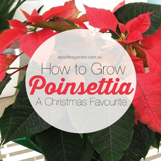 How-to-grow-poinsettia-a-christmas-favourite