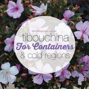 Tibouchina for containers & cold regions