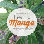Treating-Mango-Anthracnose-Disease-leaves-with-black-spot