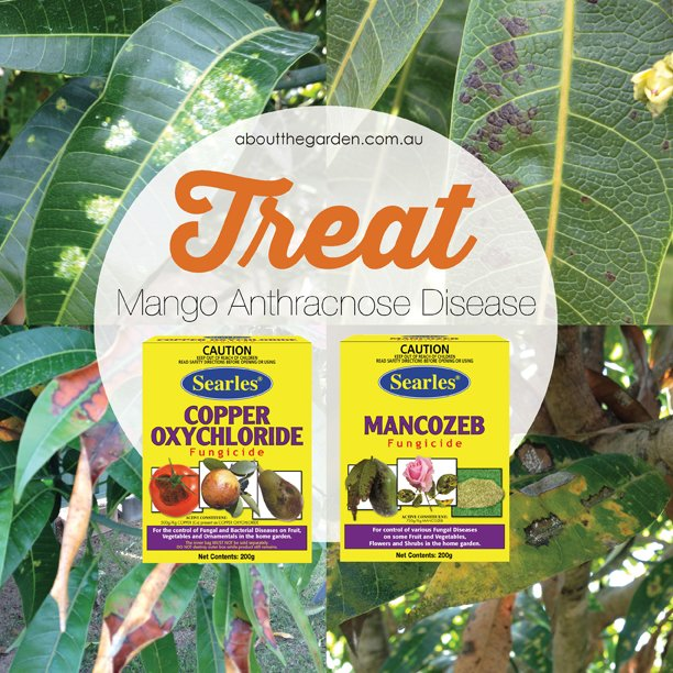 Treating-Mango-Anthracnose-Disease-leaves-with-black-spot-what-to-treat-with