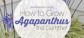 How to grow agapanthus this summer PMA #aboutthegarden #dwarf
