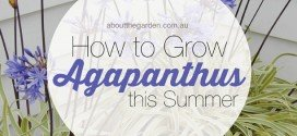 Growing Agapanthus this Summer