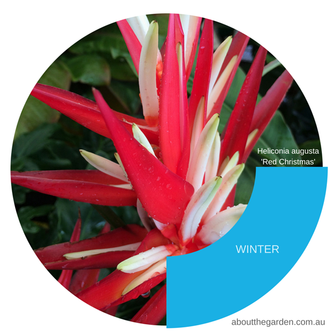 Heliconia augusta 'Red Christmas' loves shade and usually will flower in winter
