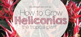 How to grow Heliconias