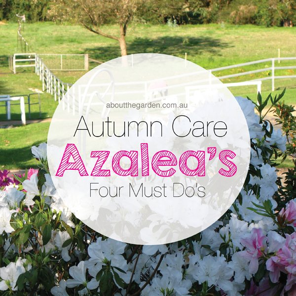 Autumn azalea care four 4 must do 39 s about the garden magazine about the garden magazine - Care azaleas keep years ...