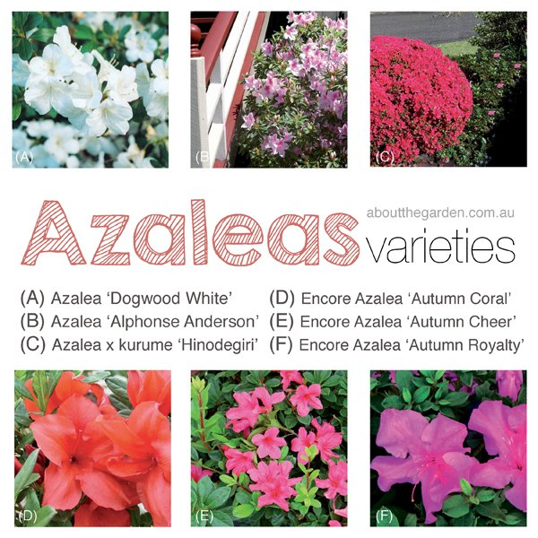 Six Azaleas perfect for gardening Australia