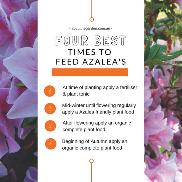 Four best times to feed azaleas