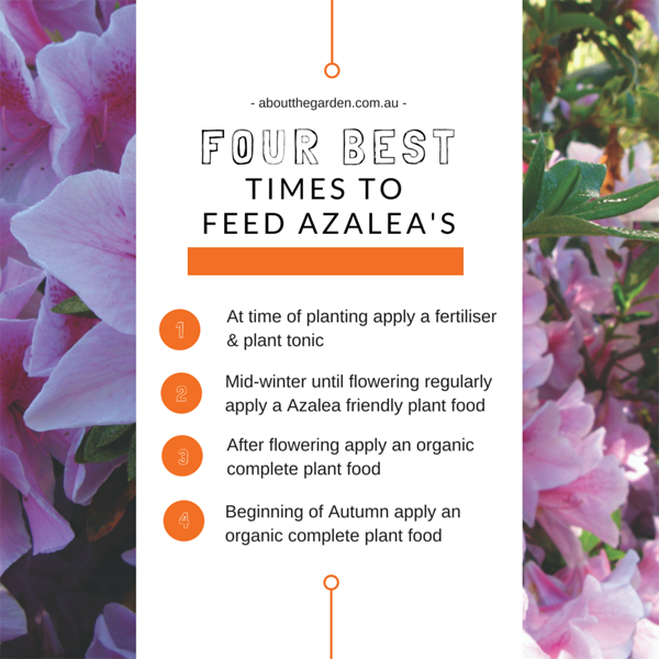 Four best times to feed azaleas