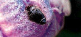 Hibiscus Flower Beetle Garden Pest