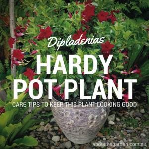 Dipladenias hardy flowering plants good for pots