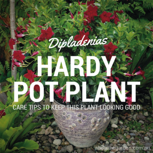 Dipladenias hardy flowering plants good for pots