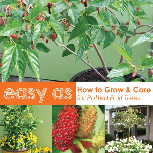 Growing Australian Native Plants: How To Grow Fruit Trees In Pots
