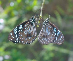 The Blue Tiger butterfly, (Tirumala hamata)