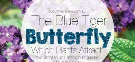 Which Plants Attract Butterflies – The Blue Tiger butterfly (Tirumala hamata)