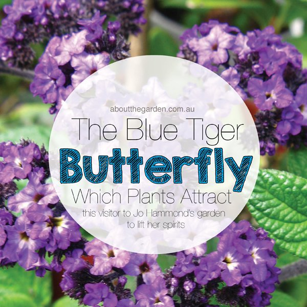Which Plants Attract Butterflies The Tiger Blue Butterfly