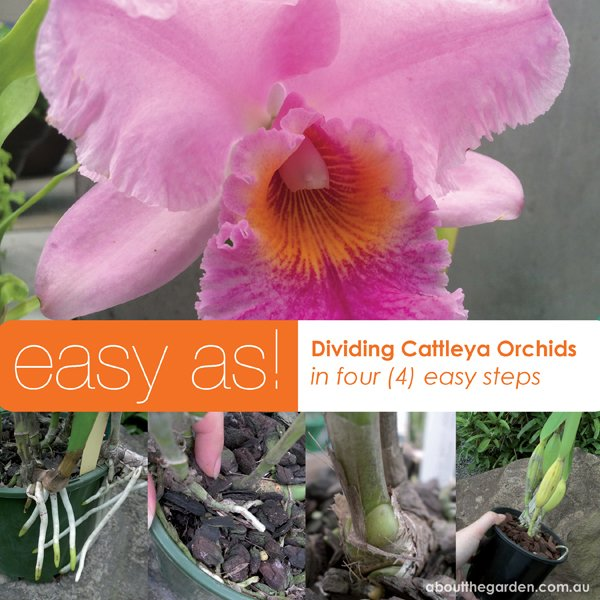 dividing and repotting cattleya orchids