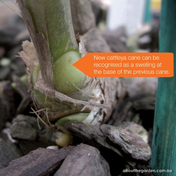 new cattleya cane can be recognised by a swelling at the base of the previous cane