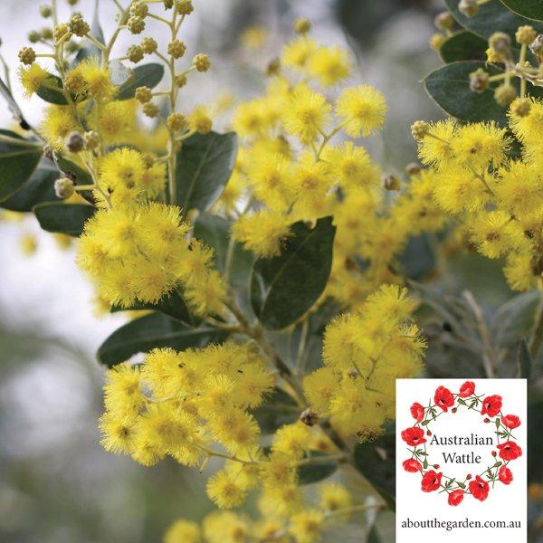 Australian Wattle Lone Pine Anzac Day lest we forget