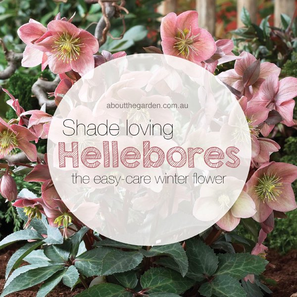 winter flower garden hellebores about the garden magazine