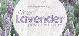 Winter Flower Lavender Love