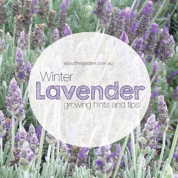 winter flower garden lavender flowers about the garden magazine