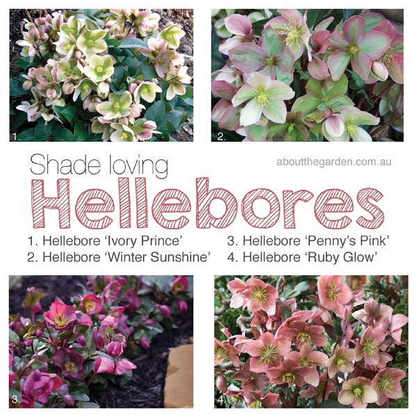 winter hellebores shade loving winter flower garden about the garden magazine