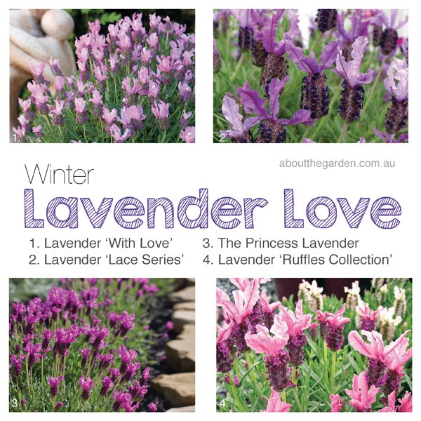 winter lavender love winter flower garden about the garden magazine