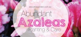 Planting guide for Abundant Azaleas