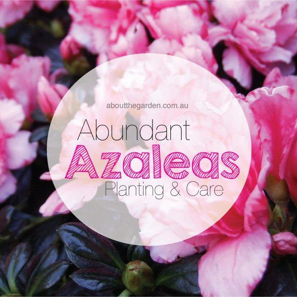 Azalea planting care in Australia #aboutthegardenmagazine.indd