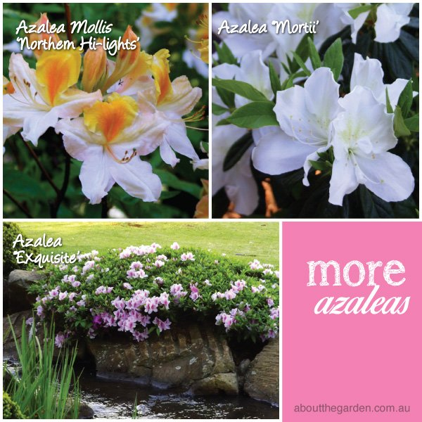 Azalea varieties in Australia 2 #aboutthegardenmagazine.indd