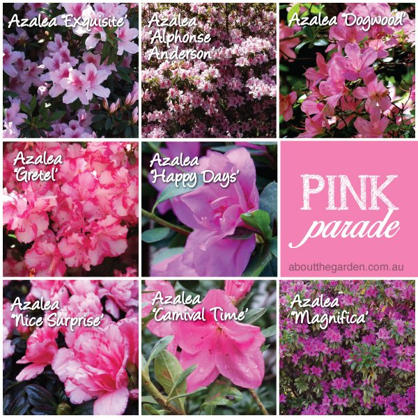 Azalea varieties in Australia #aboutthegardenmagazine.indd