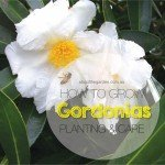 Growing gordonias.indd