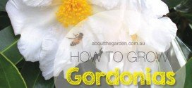 How to grow Gordonia – Gordonia axillaris – 'Fried egg plant'