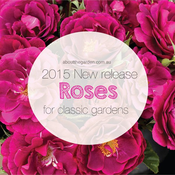 Treloar New Release roses.indd